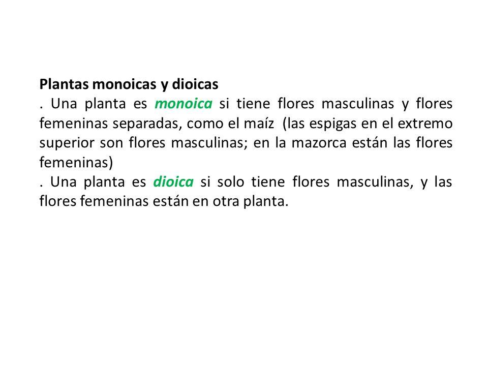 Plantas monoicas y dioicas. Una planta es monoica si tiene flores masculinas y flores femeninas separadas, como el maíz (las espigas en el extremo sup