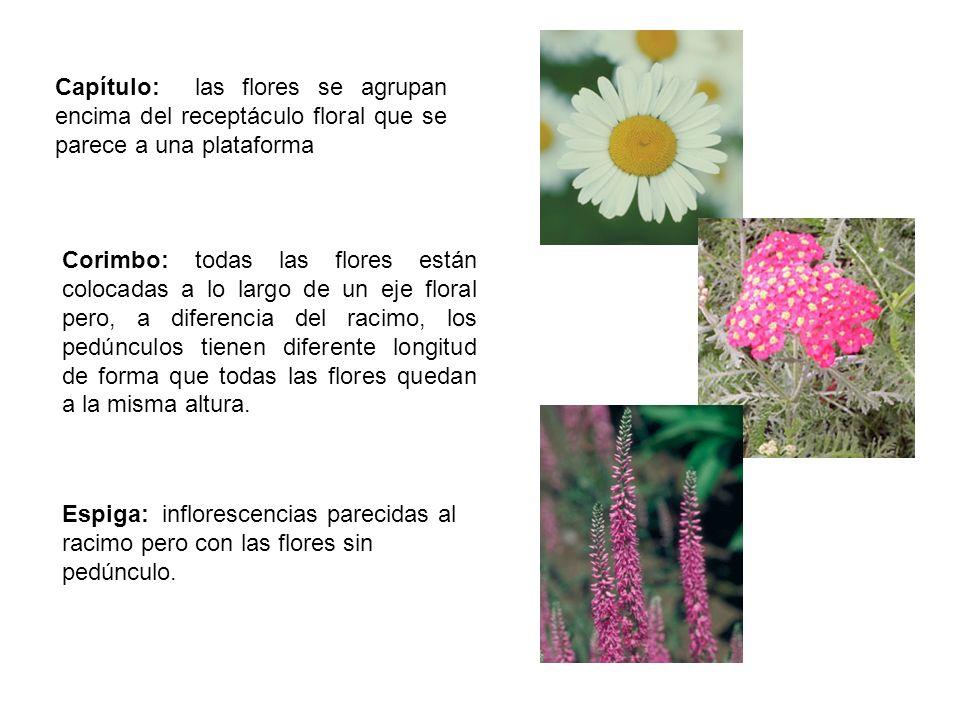 Capítulo: las flores se agrupan encima del receptáculo floral que se parece a una plataforma Corimbo: todas las flores están colocadas a lo largo de u