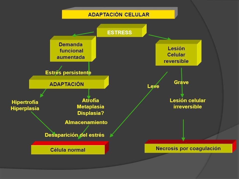 ADAPTACIÓN CELULAR ESTRESS Demanda funcional aumentada Demanda funcional aumentada Lesión Celular reversible Lesión Celular reversible ADAPTACIÓN Estr