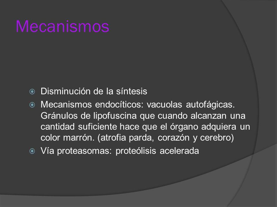 Mecanismos Disminución de la síntesis Mecanismos endocíticos: vacuolas autofágicas. Gránulos de lipofuscina que cuando alcanzan una cantidad suficient