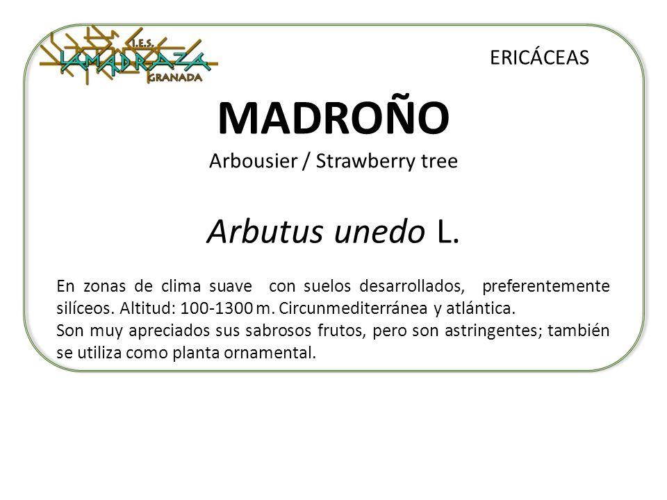 MADROÑO Arbousier / Strawberry tree Arbutus unedo L. ERICÁCEAS En zonas de clima suave con suelos desarrollados, preferentemente silíceos. Altitud: 10