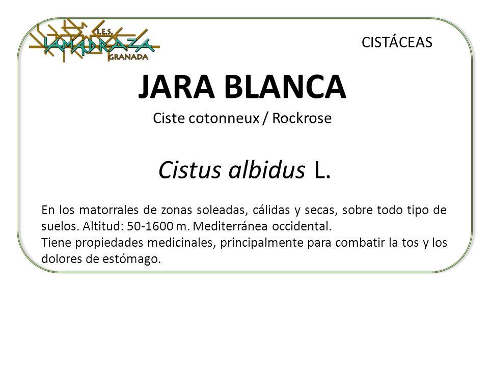 JARA BLANCA Ciste cotonneux / Rockrose Cistus albidus L. CISTÁCEAS En los matorrales de zonas soleadas, cálidas y secas, sobre todo tipo de suelos. Al