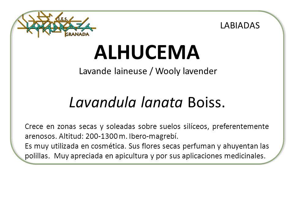ALHUCEMA Lavande laineuse / Wooly lavender Lavandula lanata Boiss. LABIADAS Crece en zonas secas y soleadas sobre suelos silíceos, preferentemente are