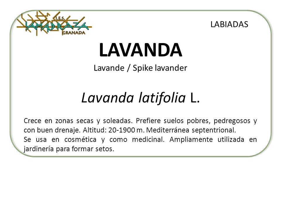 LAVANDA Lavande / Spike lavander Lavanda latifolia L. LABIADAS Crece en zonas secas y soleadas. Prefiere suelos pobres, pedregosos y con buen drenaje.