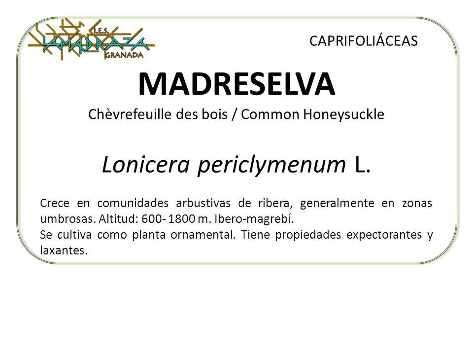 MADRESELVA Chèvrefeuille des bois / Common Honeysuckle Lonicera periclymenum L. CAPRIFOLIÁCEAS Crece en comunidades arbustivas de ribera, generalmente