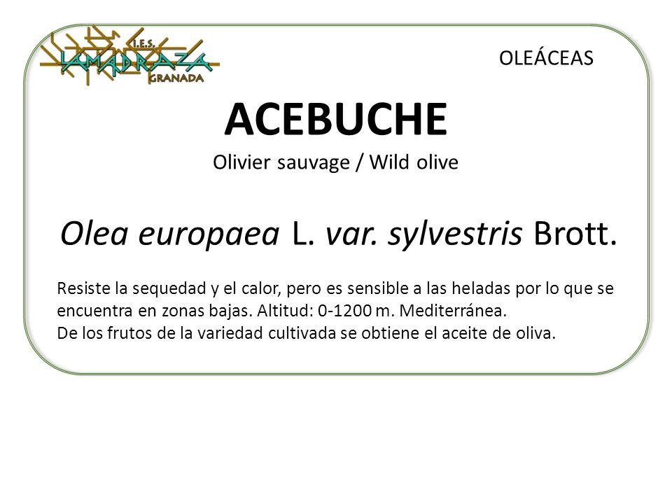 ACEBUCHE Olivier sauvage / Wild olive Olea europaea L. var. sylvestris Brott. OLEÁCEAS Resiste la sequedad y el calor, pero es sensible a las heladas