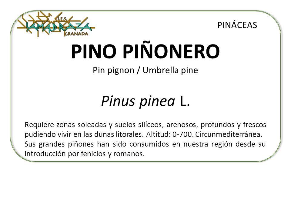 PINO PIÑONERO Pin pignon / Umbrella pine Pinus pinea L. PINÁCEAS Requiere zonas soleadas y suelos silíceos, arenosos, profundos y frescos pudiendo viv