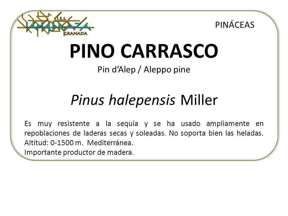PINO CARRASCO Pin dAlep / Aleppo pine Pinus halepensis Miller PINÁCEAS Es muy resistente a la sequía y se ha usado ampliamente en repoblaciones de lad