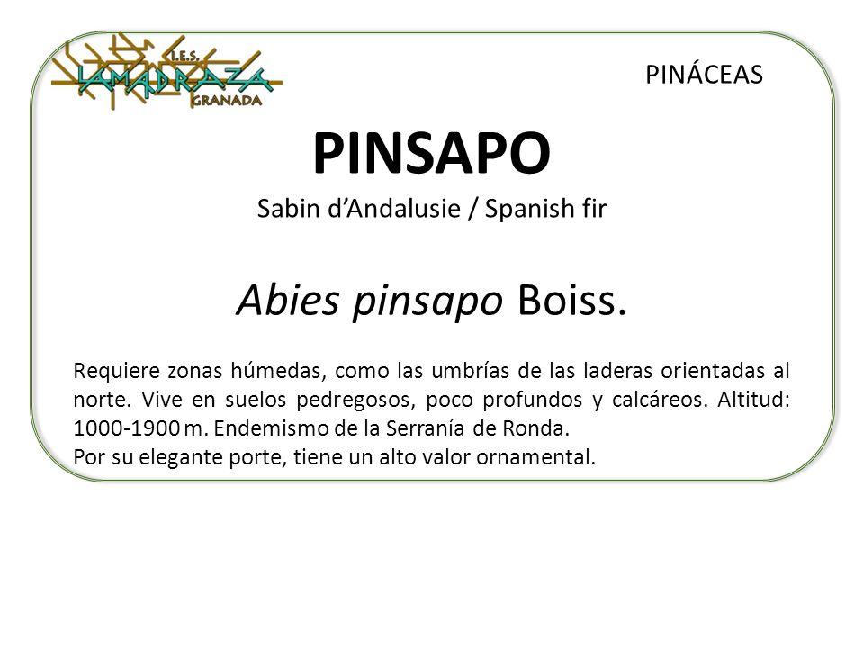 PINSAPO Sabin dAndalusie / Spanish fir Abies pinsapo Boiss. PINÁCEAS Requiere zonas húmedas, como las umbrías de las laderas orientadas al norte. Vive