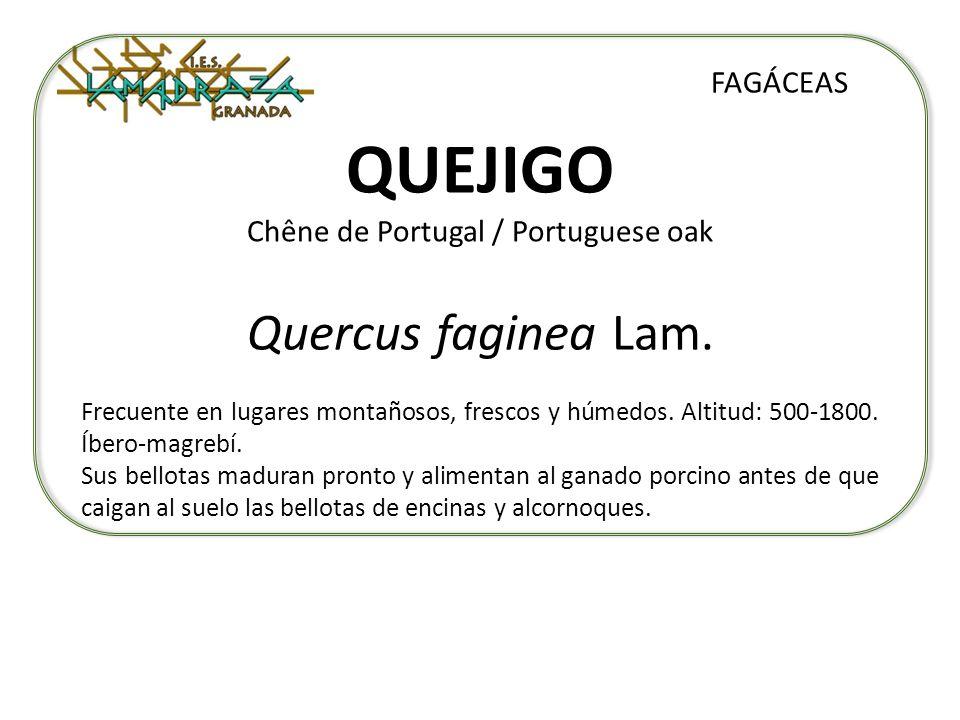 QUEJIGO Chêne de Portugal / Portuguese oak Quercus faginea Lam. FAGÁCEAS Frecuente en lugares montañosos, frescos y húmedos. Altitud: 500-1800. Íbero-