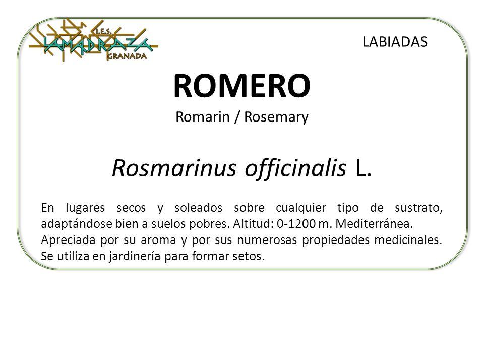 ROMERO Romarin / Rosemary Rosmarinus officinalis L. LABIADAS En lugares secos y soleados sobre cualquier tipo de sustrato, adaptándose bien a suelos p