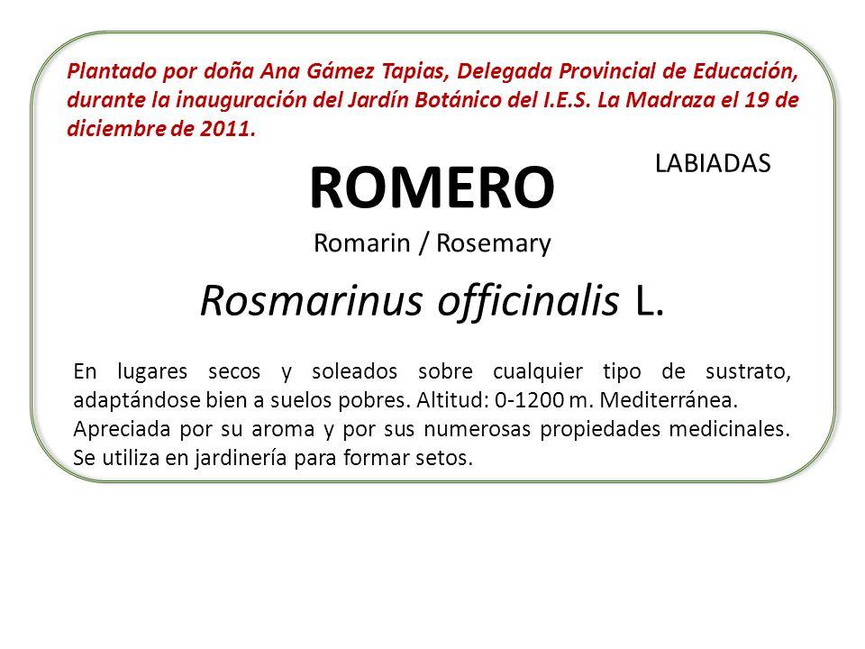 ROMERO Romarin / Rosemary Rosmarinus officinalis L. En lugares secos y soleados sobre cualquier tipo de sustrato, adaptándose bien a suelos pobres. Al