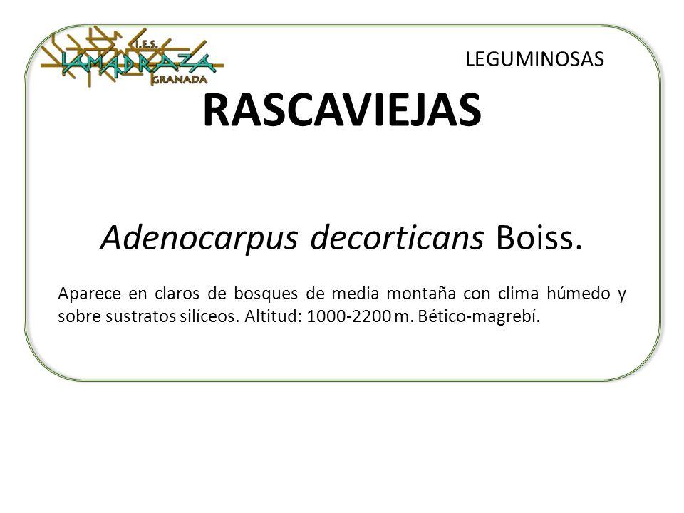 RASCAVIEJAS Adenocarpus decorticans Boiss. LEGUMINOSAS Aparece en claros de bosques de media montaña con clima húmedo y sobre sustratos silíceos. Alti