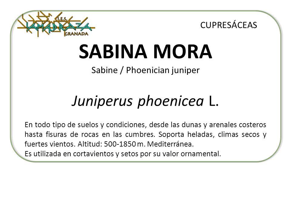 SABINA MORA Sabine / Phoenician juniper Juniperus phoenicea L. CUPRESÁCEAS En todo tipo de suelos y condiciones, desde las dunas y arenales costeros h