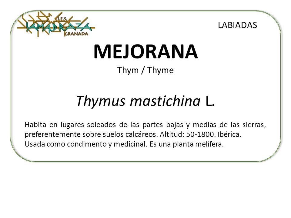 MEJORANA Thym / Thyme Thymus mastichina L. LABIADAS Habita en lugares soleados de las partes bajas y medias de las sierras, preferentemente sobre suel