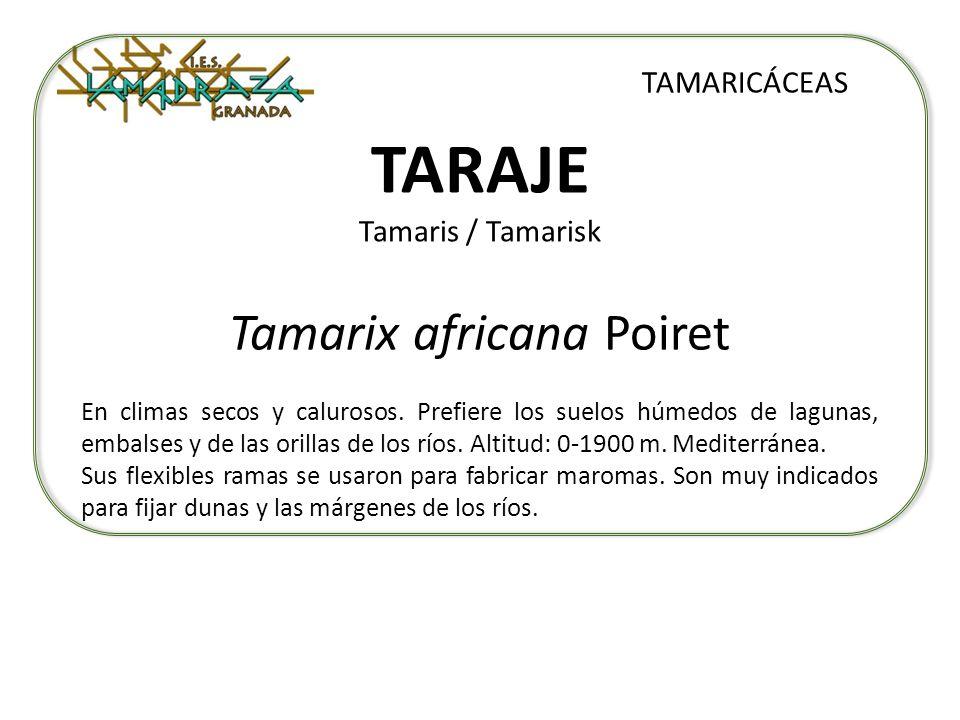 TARAJE Tamaris / Tamarisk Tamarix africana Poiret TAMARICÁCEAS En climas secos y calurosos. Prefiere los suelos húmedos de lagunas, embalses y de las