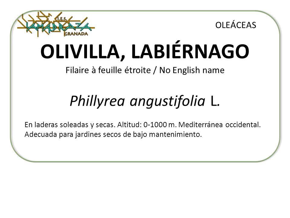 OLIVILLA, LABIÉRNAGO Filaire à feuille étroite / No English name Phillyrea angustifolia L. OLEÁCEAS En laderas soleadas y secas. Altitud: 0-1000 m. Me