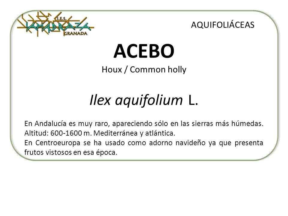 ACEBO Houx / Common holly Ilex aquifolium L. AQUIFOLIÁCEAS En Andalucía es muy raro, apareciendo sólo en las sierras más húmedas. Altitud: 600-1600 m.