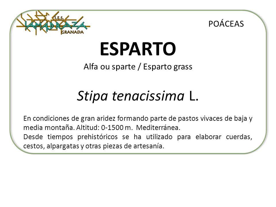 ESPARTO Alfa ou sparte / Esparto grass Stipa tenacissima L. POÁCEAS En condiciones de gran aridez formando parte de pastos vivaces de baja y media mon