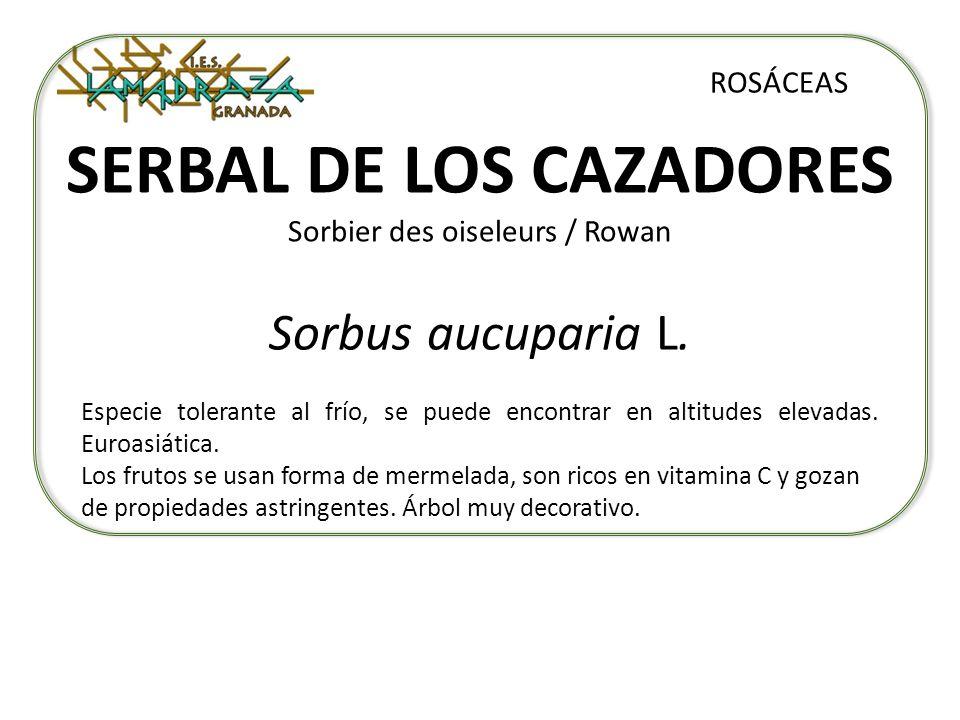 SERBAL DE LOS CAZADORES Sorbier des oiseleurs / Rowan Sorbus aucuparia L. ROSÁCEAS Especie tolerante al frío, se puede encontrar en altitudes elevadas
