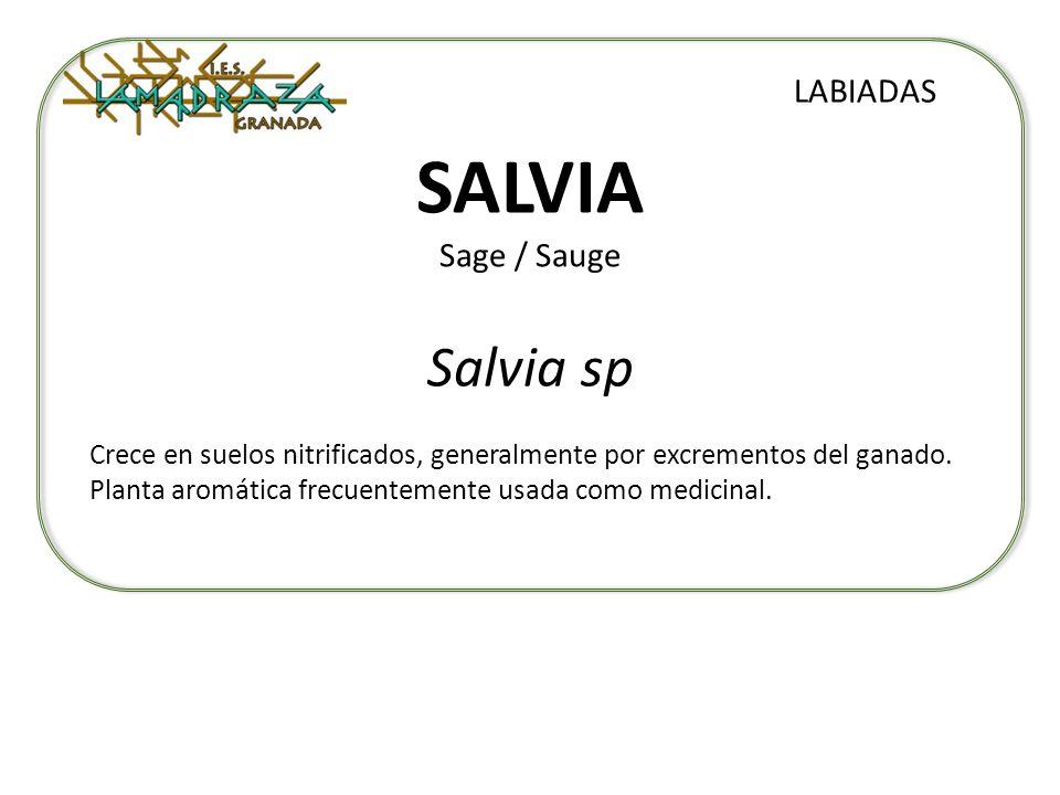 SALVIA Sage / Sauge Salvia sp LABIADAS Crece en suelos nitrificados, generalmente por excrementos del ganado. Planta aromática frecuentemente usada co