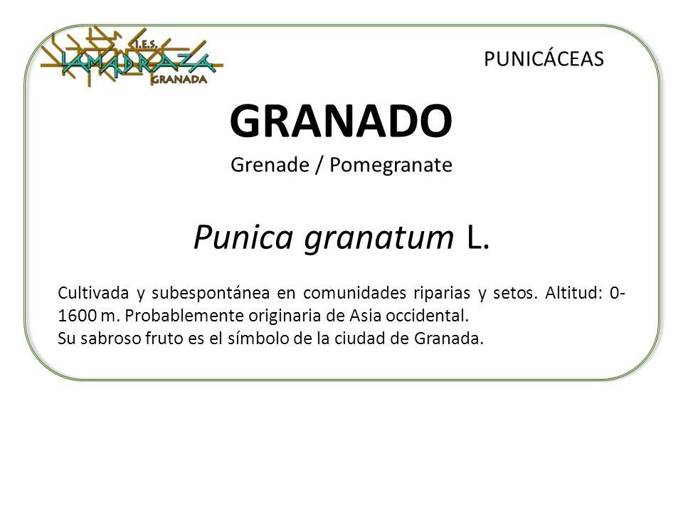 GRANADO Grenade / Pomegranate Punica granatum L. PUNICÁCEAS Cultivada y subespontánea en comunidades riparias y setos. Altitud: 0- 1600 m. Probablemen