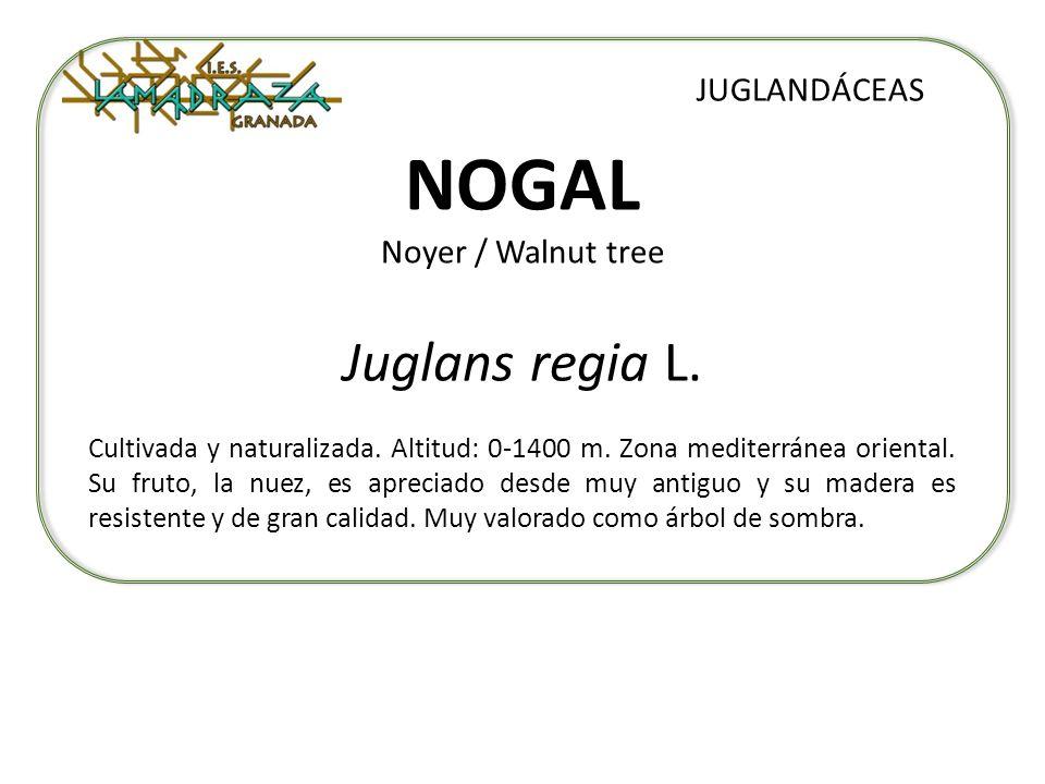 NOGAL Noyer / Walnut tree Juglans regia L. JUGLANDÁCEAS Cultivada y naturalizada. Altitud: 0-1400 m. Zona mediterránea oriental. Su fruto, la nuez, es
