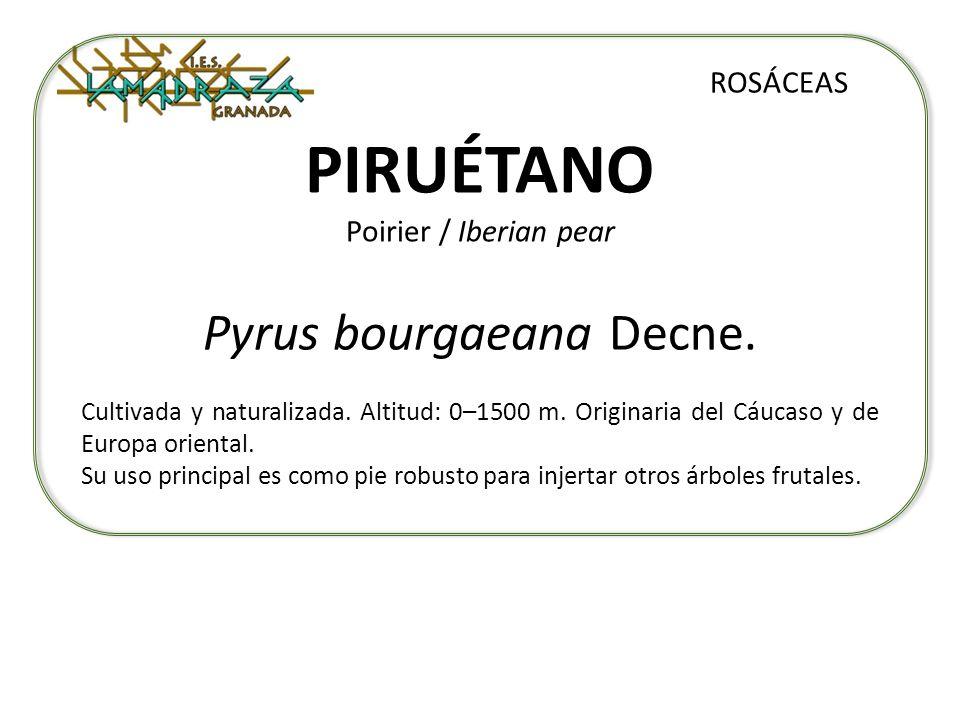 PIRUÉTANO Poirier / Iberian pear Pyrus bourgaeana Decne. ROSÁCEAS Cultivada y naturalizada. Altitud: 0–1500 m. Originaria del Cáucaso y de Europa orie