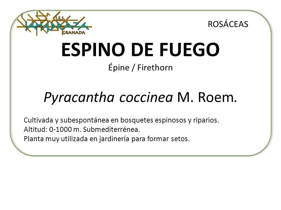 ESPINO DE FUEGO Épine / Firethorn Pyracantha coccinea M. Roem. ROSÁCEAS Cultivada y subespontánea en bosquetes espinosos y riparios. Altitud: 0-1000 m