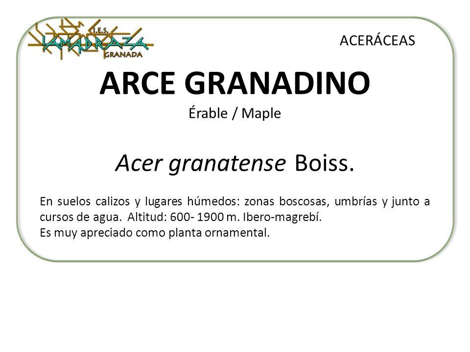 ARCE GRANADINO Érable / Maple Acer granatense Boiss. ACERÁCEAS En suelos calizos y lugares húmedos: zonas boscosas, umbrías y junto a cursos de agua.