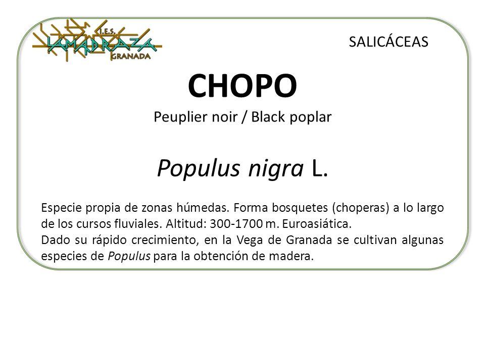 CHOPO Peuplier noir / Black poplar Populus nigra L. SALICÁCEAS Especie propia de zonas húmedas. Forma bosquetes (choperas) a lo largo de los cursos fl
