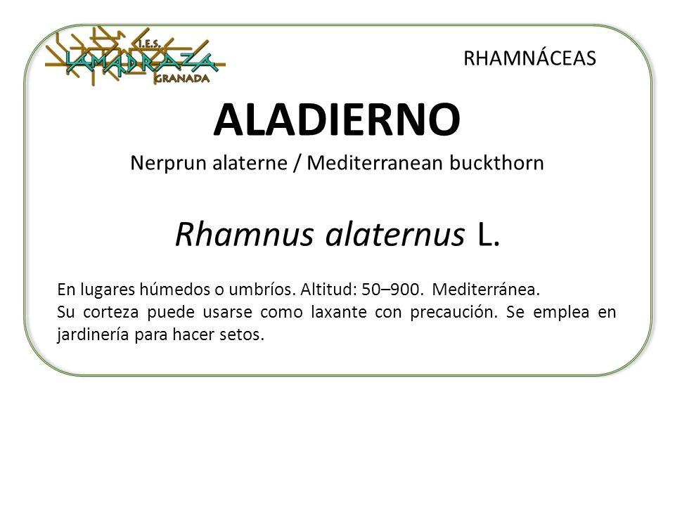 ALADIERNO Nerprun alaterne / Mediterranean buckthorn Rhamnus alaternus L. RHAMNÁCEAS En lugares húmedos o umbríos. Altitud: 50–900. Mediterránea. Su c