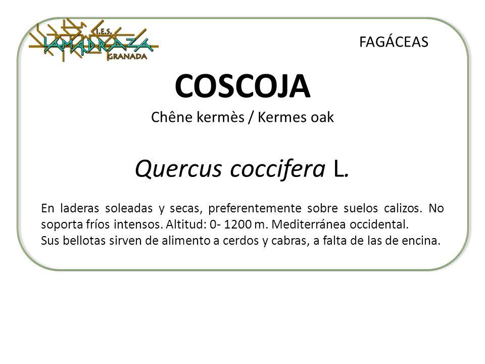 COSCOJA Chêne kermès / Kermes oak Quercus coccifera L. FAGÁCEAS En laderas soleadas y secas, preferentemente sobre suelos calizos. No soporta fríos in