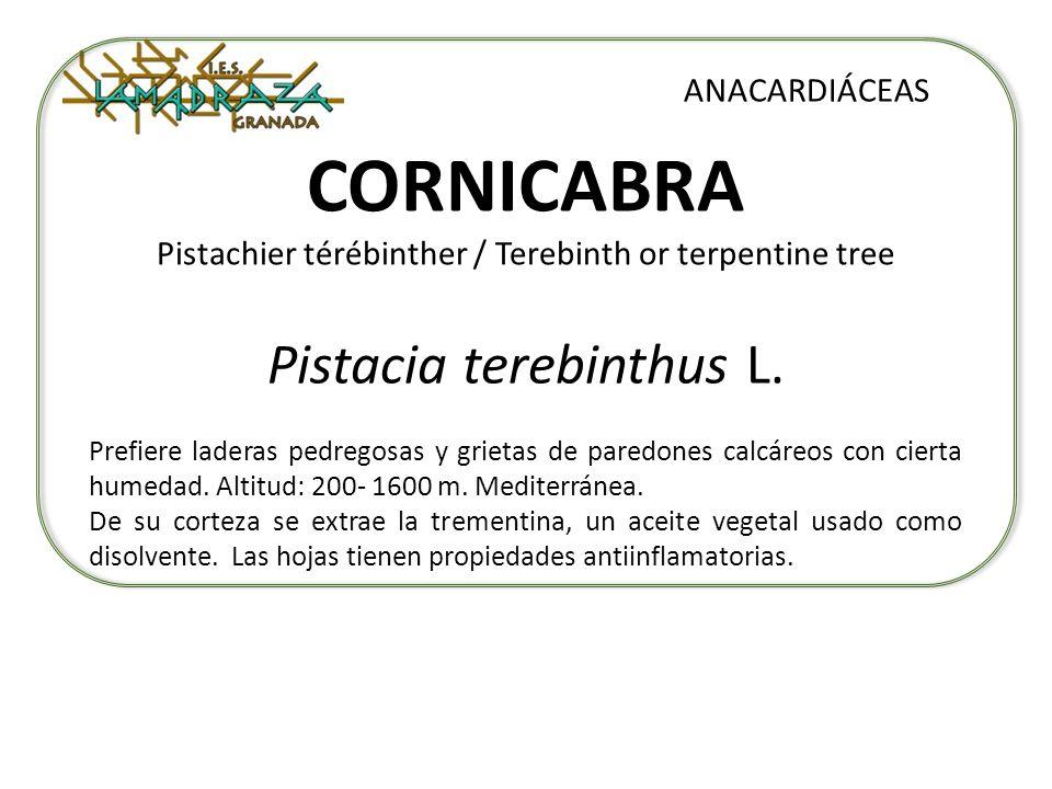 CORNICABRA Pistachier térébinther / Terebinth or terpentine tree Pistacia terebinthus L. ANACARDIÁCEAS Prefiere laderas pedregosas y grietas de paredo