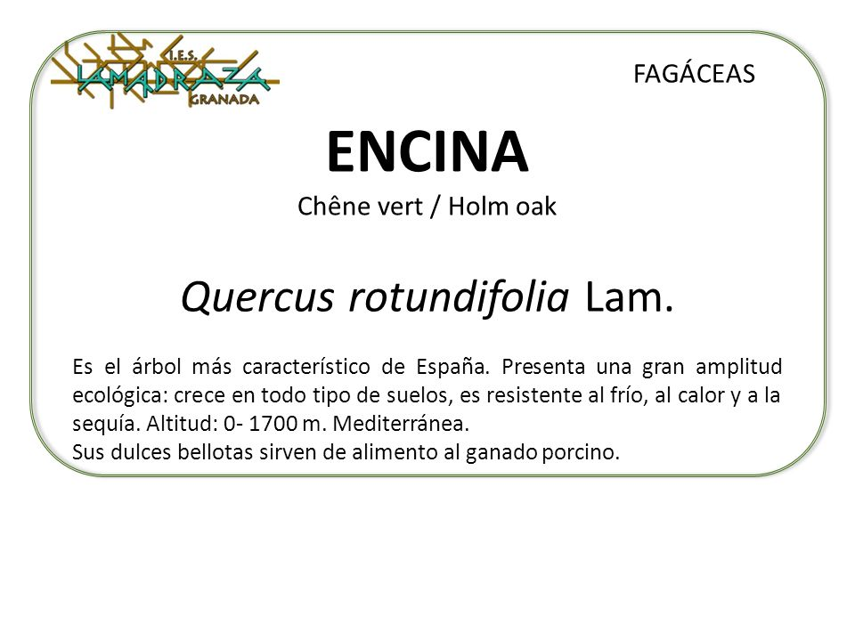 ENCINA Chêne vert / Holm oak Quercus rotundifolia Lam. FAGÁCEAS Es el árbol más característico de España. Presenta una gran amplitud ecológica: crece