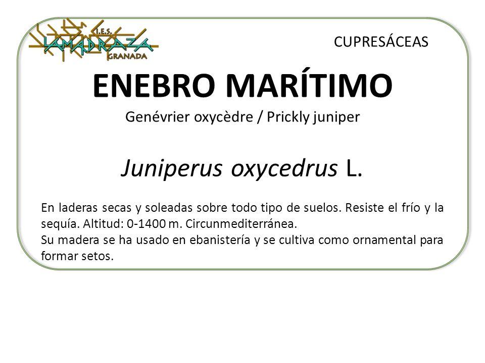 ENEBRO MARÍTIMO Genévrier oxycèdre / Prickly juniper Juniperus oxycedrus L. CUPRESÁCEAS En laderas secas y soleadas sobre todo tipo de suelos. Resiste