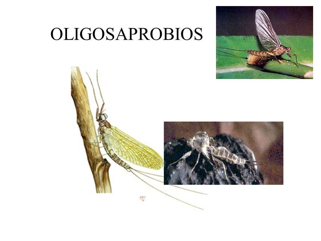 BIOINDICADORES: OLIGOSAPROBIOS