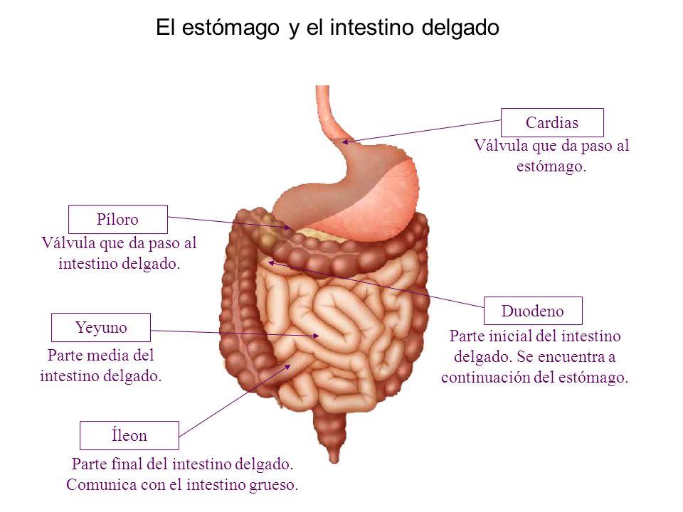 Lujo Anatomía Del Estómago Y El Colon Patrón - Anatomía de Las ...