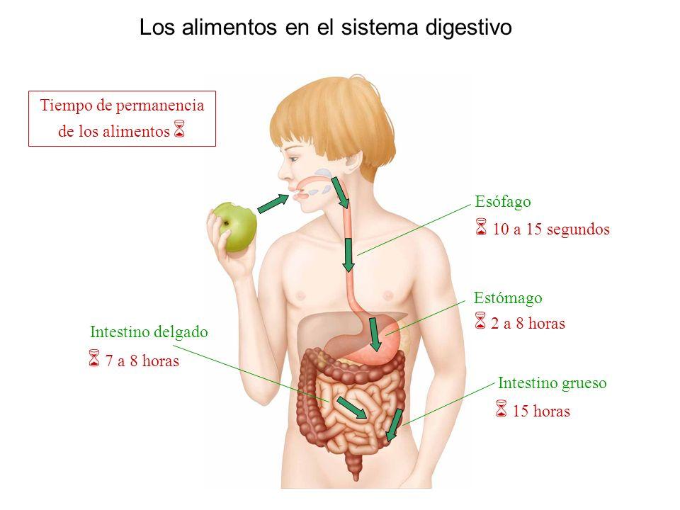 Los alimentos en el sistema digestivo Esófago Estómago Intestino delgado Intestino grueso Tiempo de permanencia de los alimentos 10 a 15 segundos 2 a 8 horas 15 horas 7 a 8 horas