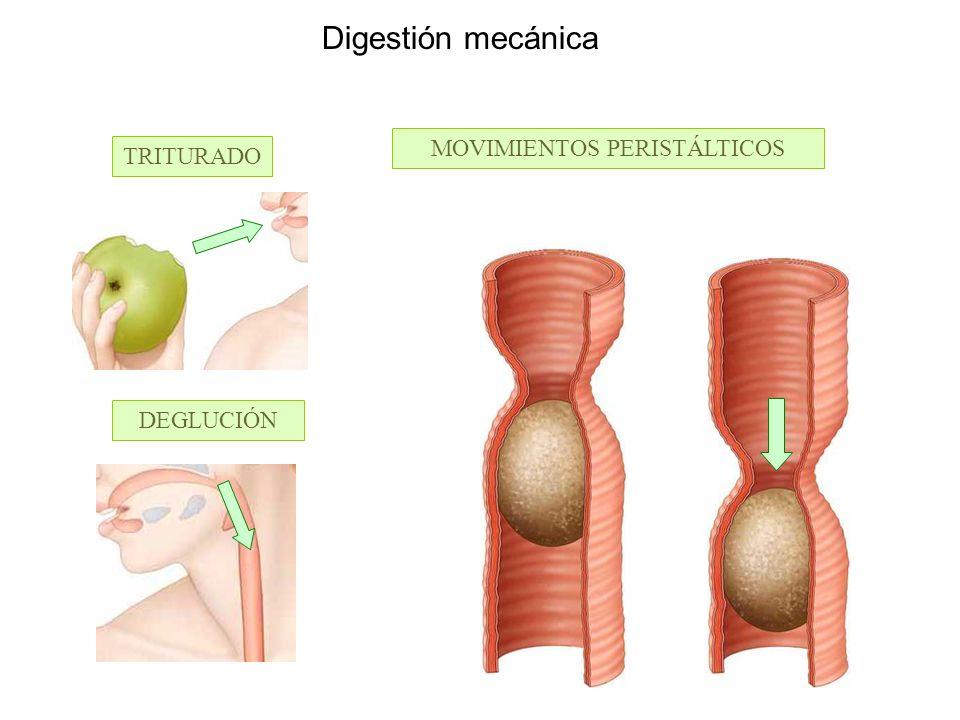 Digestión mecánica TRITURADO DEGLUCIÓN MOVIMIENTOS PERISTÁLTICOS