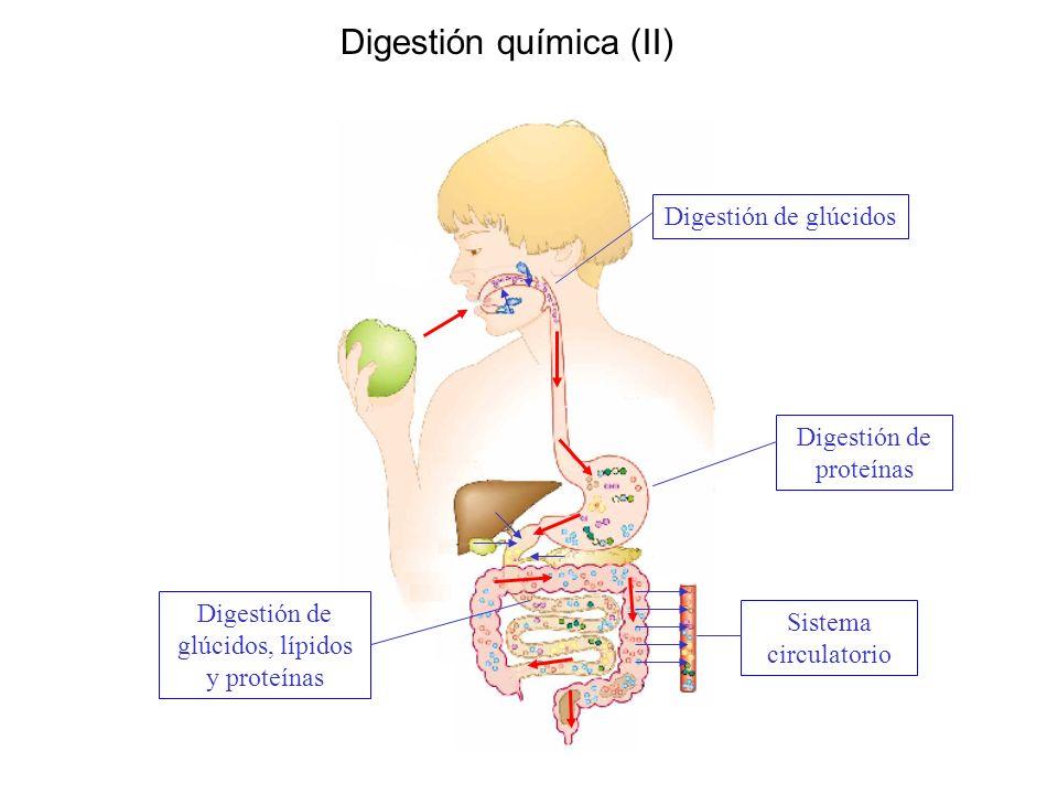 Digestión química (II) Digestión de glúcidos Digestión de proteínas Digestión de glúcidos, lípidos y proteínas Sistema circulatorio