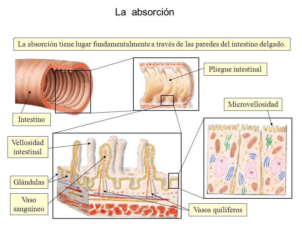 La absorción La absorción tiene lugar fundamentalmente a través de las paredes del intestino delgado.