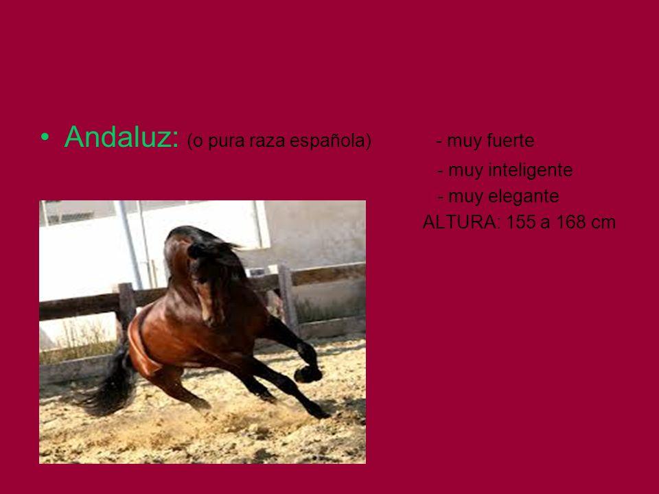 Andaluz: (o pura raza española) - muy fuerte - muy inteligente - muy elegante ALTURA: 155 a 168 cm