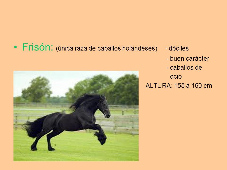 Frisón: (única raza de caballos holandeses) - dóciles - buen carácter - caballos de ocio ALTURA: 155 a 160 cm