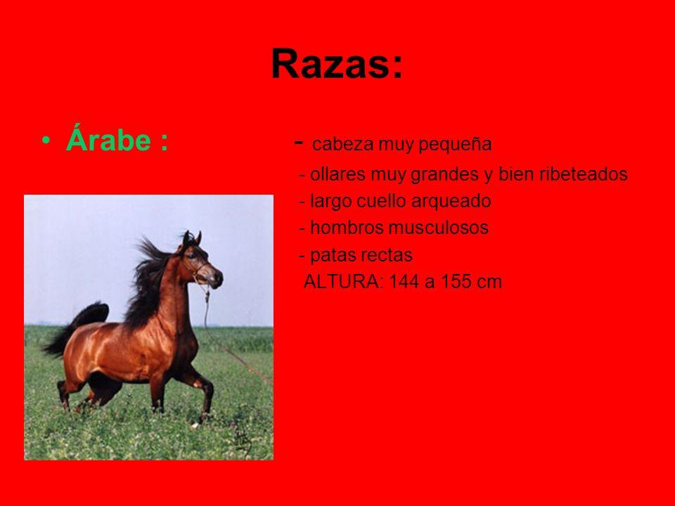 Angloárabe: (cruce de árabe y purasangre inglés) - excelentes caballos de silla y de salto ALTURA: de 156 a 168 cm