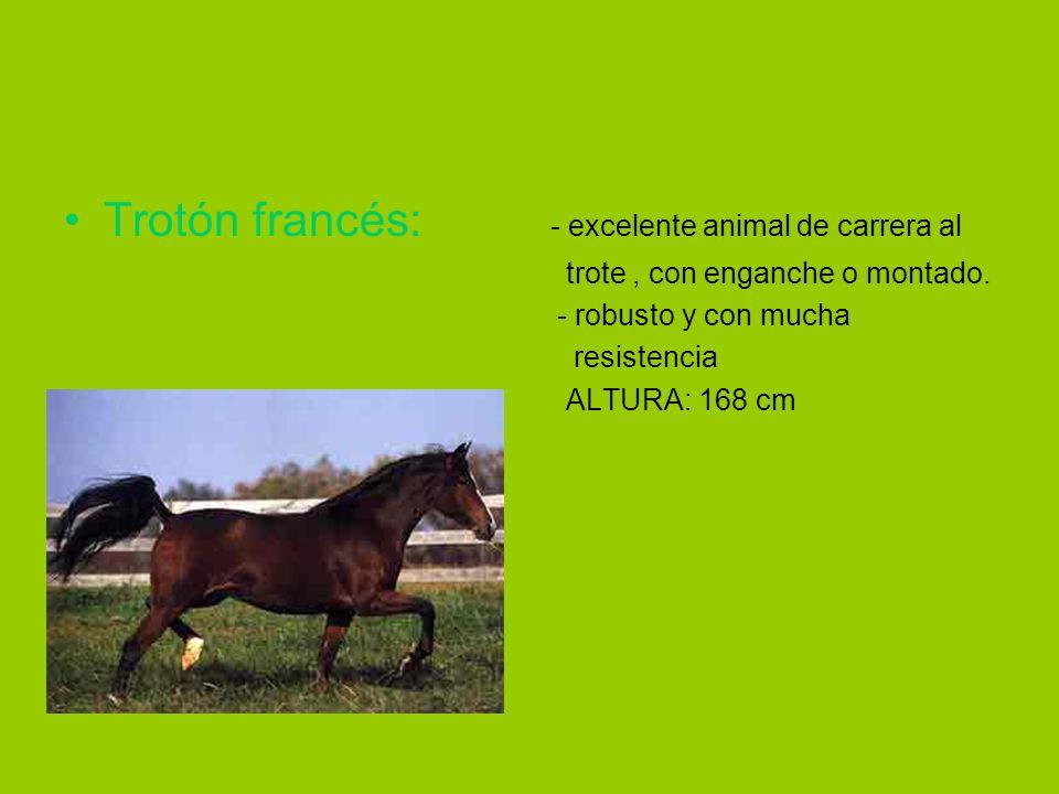 Trotón francés: - excelente animal de carrera al trote, con enganche o montado. - robusto y con mucha resistencia ALTURA: 168 cm