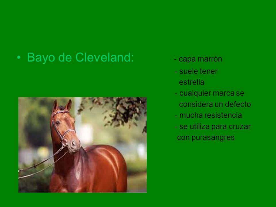 Bayo de Cleveland: - capa marrón - suele tener estrella - cualquier marca se considera un defecto - mucha resistencia - se utiliza para cruzar con pur