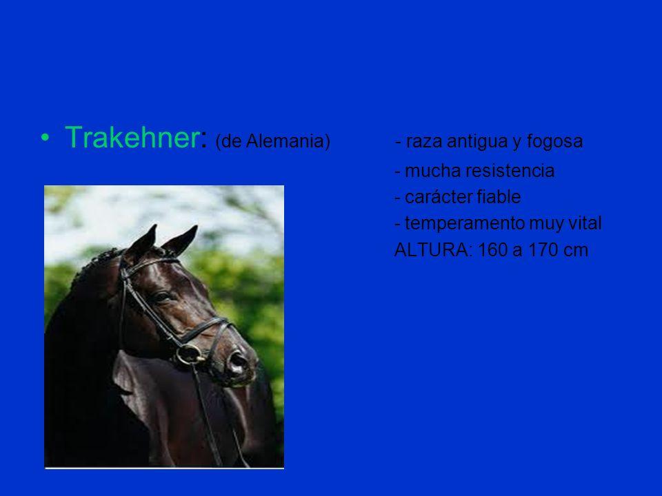 Trakehner: (de Alemania) - raza antigua y fogosa - mucha resistencia - carácter fiable - temperamento muy vital ALTURA: 160 a 170 cm