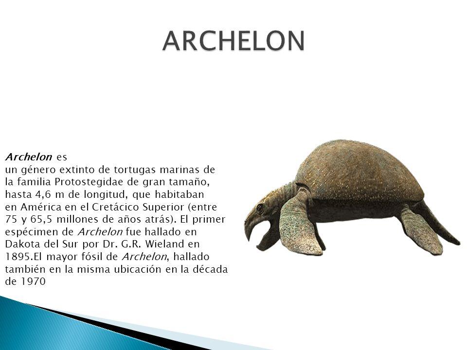 Archelon es un género extinto de tortugas marinas de la familia Protostegidae de gran tamaño, hasta 4,6 m de longitud, que habitaban en América en el