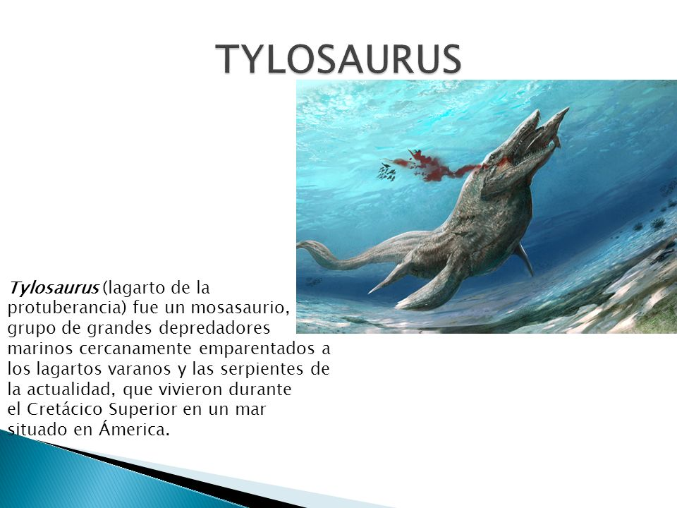 Tylosaurus (lagarto de la protuberancia) fue un mosasaurio, grupo de grandes depredadores marinos cercanamente emparentados a los lagartos varanos y l